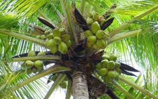 Какие бывают кокосы