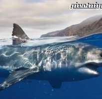 Где обитают белые акулы