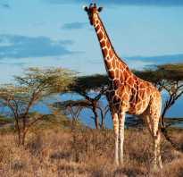 Сколько пятен у жирафа