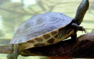 Как ухаживать за водной черепахой