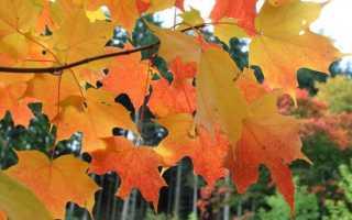 Американский клён фото дерева и листьев