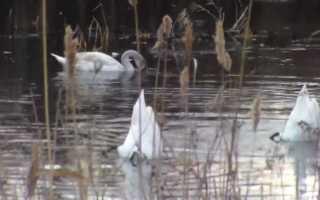 Чем кормить лебедей в парке
