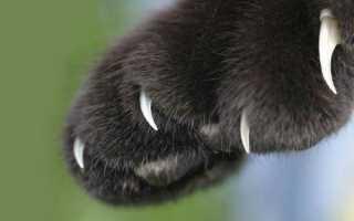 Как лечить грибок когтей у кошек