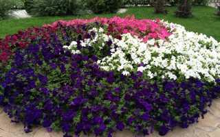 Как называются цветы похожие на петунию