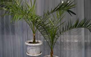 Как пересадить пальму в другой горшок