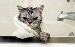 Как часто нужно мыть кота