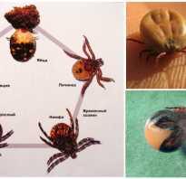 Как размножаются клещи