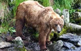 Где живёт бурый медведь на каком материке