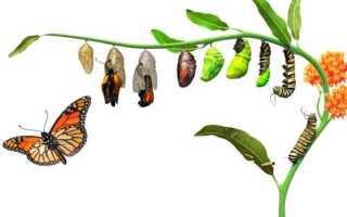 Все ли гусеницы превращаются в бабочек