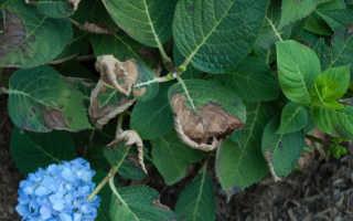 Почему у гортензии сохнут листья по краям