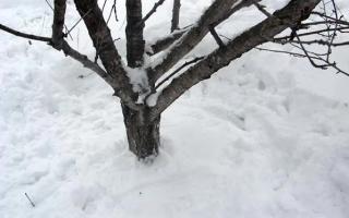 Можно ли утаптывать снег вокруг деревьев