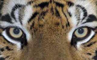 Сколько у тигра полосок