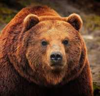 Чего боятся медведи