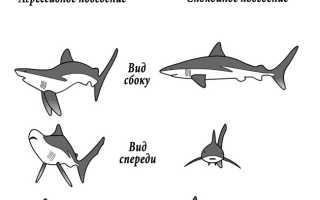 Какие звуки издают акулы